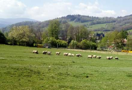 Pastevectví pod Pradědem