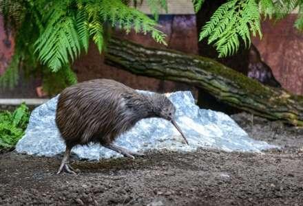 Ranní prohlídka zoo a expozice kivi