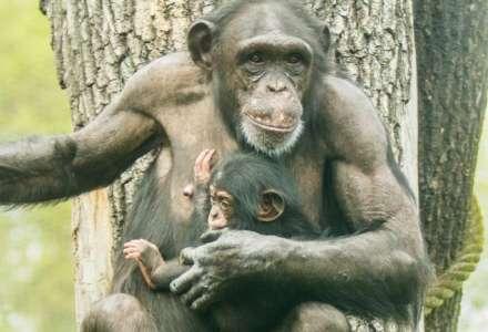 Mládě šimpanze bývá k vidění ve venkovním výběhu ZOO Ostrava