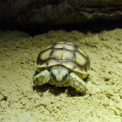 V ZOO Ostrava se vyklubala první mláďata želv ostruhatých