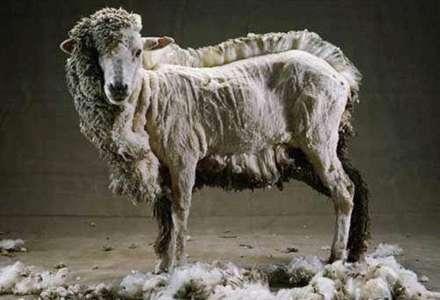 Stříhání ovcí v Beskydech