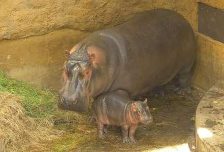 V Zoo Ostrava se narodilo mládě hrocha obojživelného