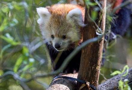Mládě pandy červené v Zoo Ostrava se už začíná objevovat ve výběhu