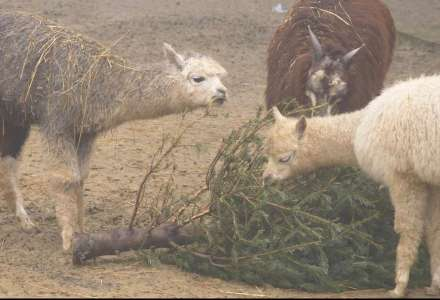 Vánoční stromky zpestřují jídelníček zvířatům v Zoo Ostrava