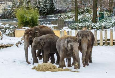Zimní venčení slonů v Zoo Ostrava