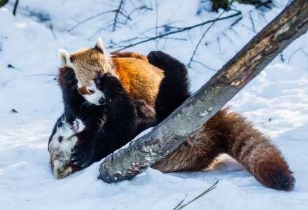 Pandy randí vZoo Ostrava