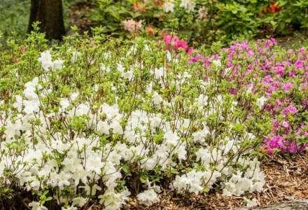 V Zoo Ostrava začaly rozkvétat rododendrony