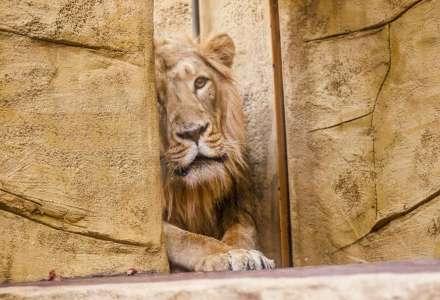 Do Zoo Ostrava dorazil mladý samec lva indického