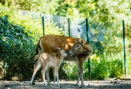 Mláďata jelenů nejsou opuštěná - ani v zoo, ani v přírodě