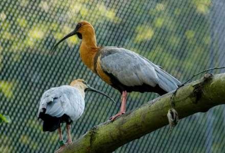 Ibis šedokřídlý. Foto: M. Vlčková
