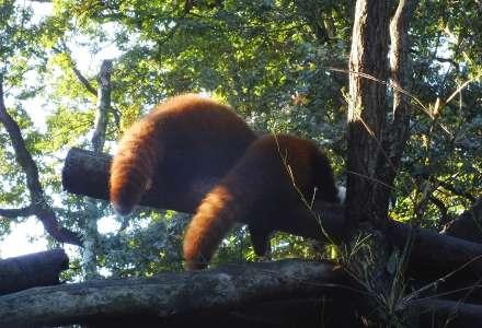 Dvojčata pand červených v Zoo Ostrava konečně začala objevovat výběh