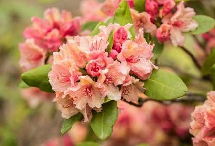Rododendrony v Zoo Ostrava jsou v plném květu