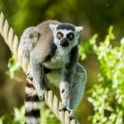 Den pro lemury v Zoo Ostrava