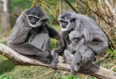 V zoo se na konci prázdnin poběží pro gibony stříbrné